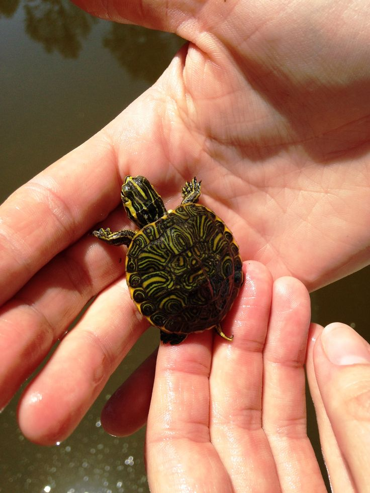 One of our baby Yellow-Bellied Sliders from Cape Fear Botanical Garden: