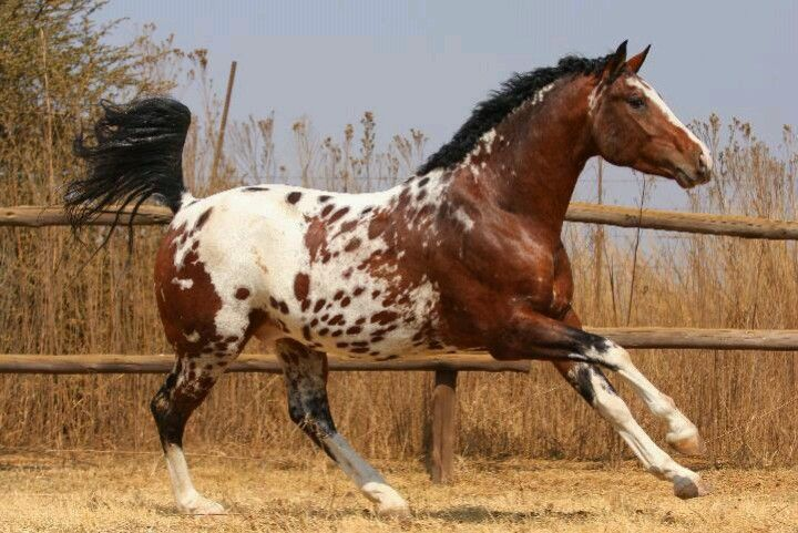 Image result for appaloosa horse