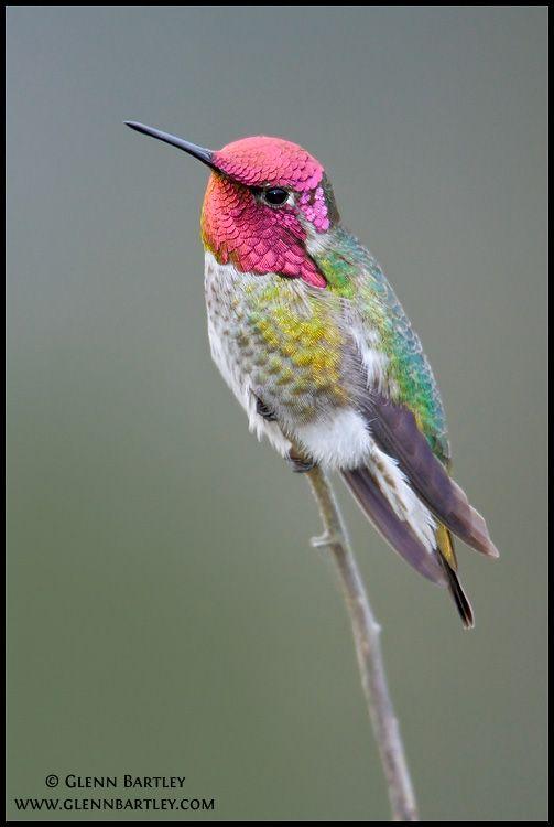 Anna's Hummingbird (Calypte anna); photograph by Glenn Bartley. Victoria, BC, Canada