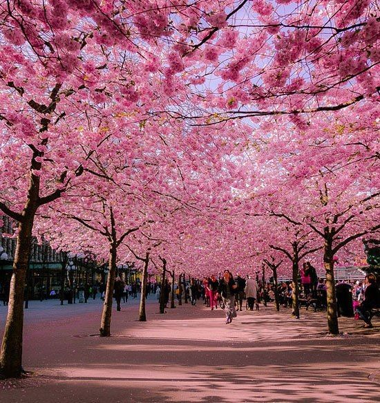 Donna's Corner~~Things I Love  FacebookCherries Blossoms, Beautiful, Pink, Germany, Blossoms Trees, Blossoms Avenue, Travel, Places, Cherry Blossoms