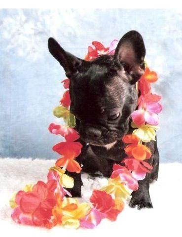 Hawaiian French Bulldog Puppy