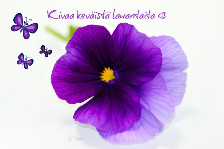 Orvokki, violet flower
