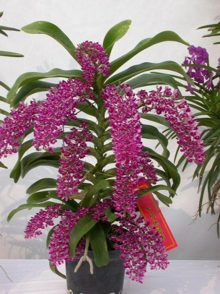 Orchid: Rhynchostylis gigantea 'Spot' - Species from Southeast Asia Grown