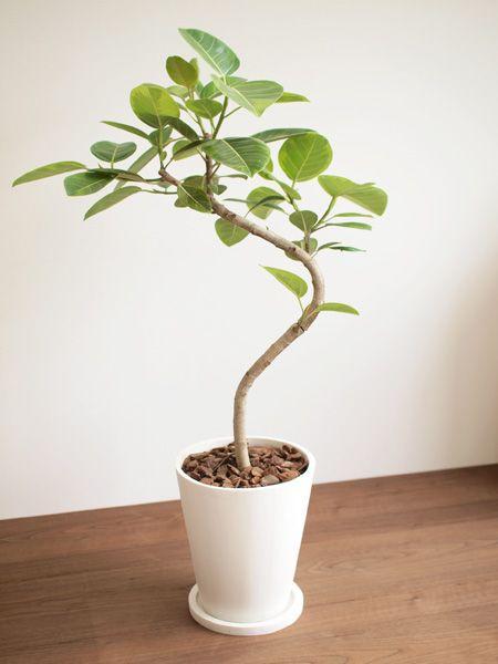 フィカス・アルテシーマ 販売・通販 [詳細ページ] *tree tree*