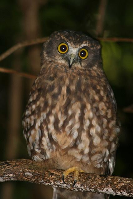 Ruru (Morepork Owl) Ninox novaeseelandiae.  by Steve Attwood -
