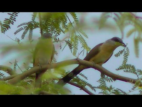 Casal de Lagarteiro - Pássaro do Sertão