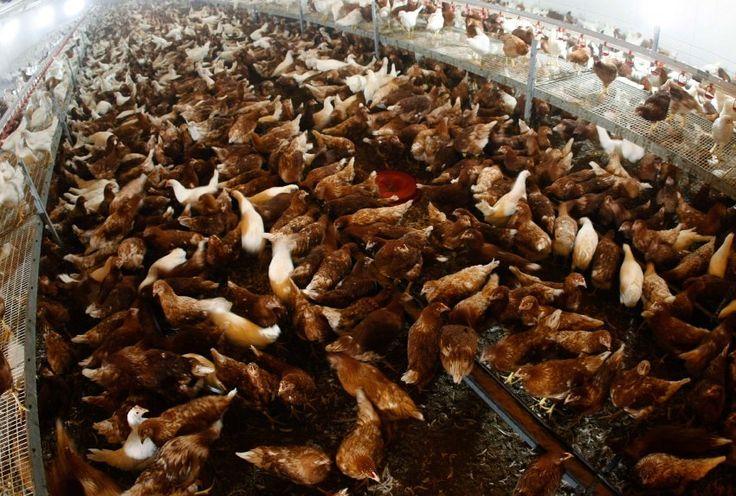 http://ift.tt/2zrllJU Tiermast: WHO legt neue Antibiotika-Richtlinie vor #nachrichten