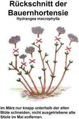 Hortensien Pflege- Alle Arten richtig schneiden, vermehren & überwintern