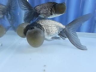 Blue Bubble Eye (Goldfish)