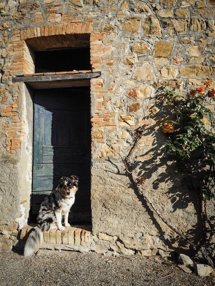 Paul Anka, Australian Shepherd, Tuscany, Italy