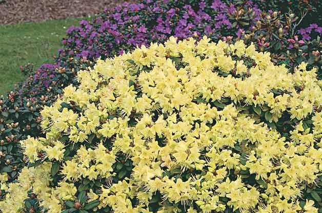 17 best flowering shrubs images on pinterest beautiful for Flowering landscape bushes