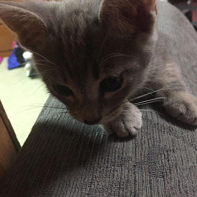 お気に入りのソファの上❤️ 最近は旦那の座椅子で寝たりも するー! #子猫#こねこ#こねこ部#子猫部#仔猫 #ロシアンブルー#オス#男の子#里親 #めっちゃ可愛い#にゃんすたぐらむ #ねこすたぐらむ#こねこすたぐらむ #ねこばか部#愛猫#にゃんだふるらいふ #ミックス猫#甘えん坊猫