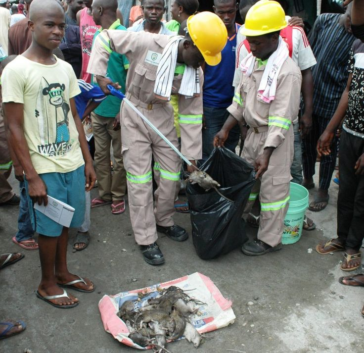 Lagos residents now kill rats for money   Officials of Phosguard Fumigants Ltd. demonstrate evacuation of dead rats at the flag off of LASGs Vector Control Programme  By Olanrewaju Akojede(NAN) The Lagos State Government will not relent in its effort at making the state the safest place to live in by providing a safe environment the Commissioner for The Environment Dr Babatunde Adejare has said. Adejare made the assertion at the official flag-off of the Lagos State Market Deratisation…