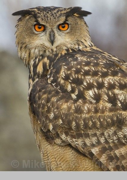 - EURASIAN EAGLE OWLS