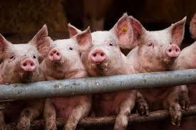 End Forced Cannibalism on Hog Farms