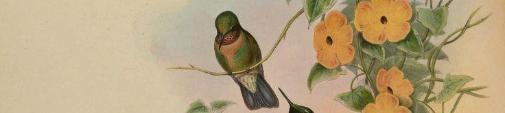 thunbergia illustration  | Thunbergia alata vine blooms and hummingbird illustration, circa 1839.