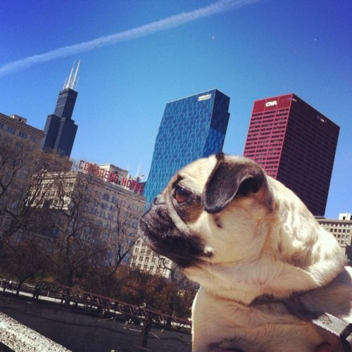 Does my neck look fat?: Precious Pugs, City Pug, Awesome Pugs, Cuteness Overload, Pugs Im Addicted, Favorite Pins, Pug Dogs