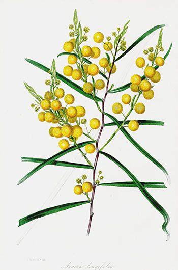 Joseph Paxton Australian Botanical Prints 1834