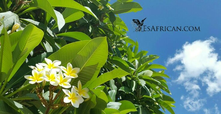 Some flowers grow on trees... near Maganga House