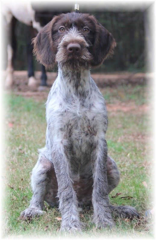 rescue german wirehaired pointer | VEGAS - FEMALE. AVAILABLE TO PET, HUNTING, AND/OR SHOW HOME. NICE ...