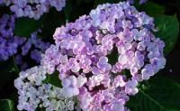 Hydrangea macrophylla 'Ayesha' - Lilac Hydrangea ~  In acidic soil color of flower will be blue or mauve,    in a neutral or slightly calcareous soil, the color pink and red.   - to stabilize the color, give blue hydrangeas potassium alum;  for  pink-red hydrangeas give lime.