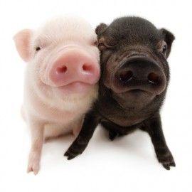 die besten 25 schwarze schweine ideen auf pinterest minischwein schweine und teetassenferkel. Black Bedroom Furniture Sets. Home Design Ideas
