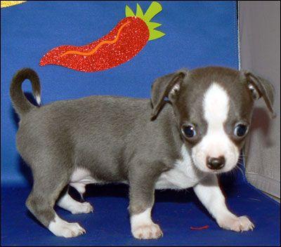 I want a blue chihuahua-so precious!!