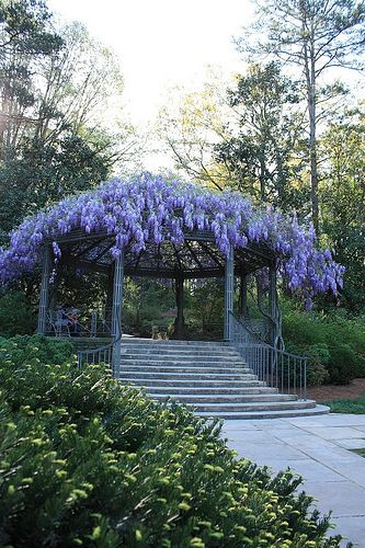 The Pergola at Duke Gardens -Durham, NC (wisteria)