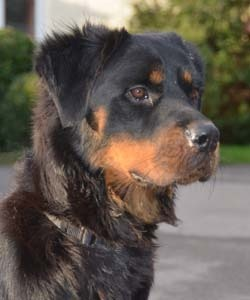 Charity at Rottweiler Rescue Trust