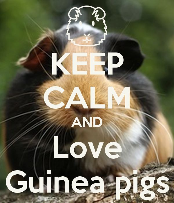 The Best Guinea Pig Food Ideas On Pinterest Food For Guinea - Ludwig the bald guinea pig is winning the internets hearts