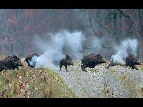 Chasse au Sanglier,Wild Boar Hunting HD