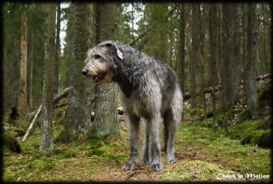 Billedresultat for irsk ulvehund