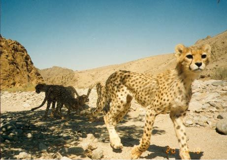 """September 2, 2005—Its numbers may be as spotty as its coat, but the rare Asiatic cheetah is holding its own, as seen in this photograph taken by an automatic """"camera trap"""" in Iran. A female cheetah and her four six-month-old cubs wandered into the camera's range while settling down for a rest in the shade. Experts say this is the largest group of the endangered cheetah ever photographed."""