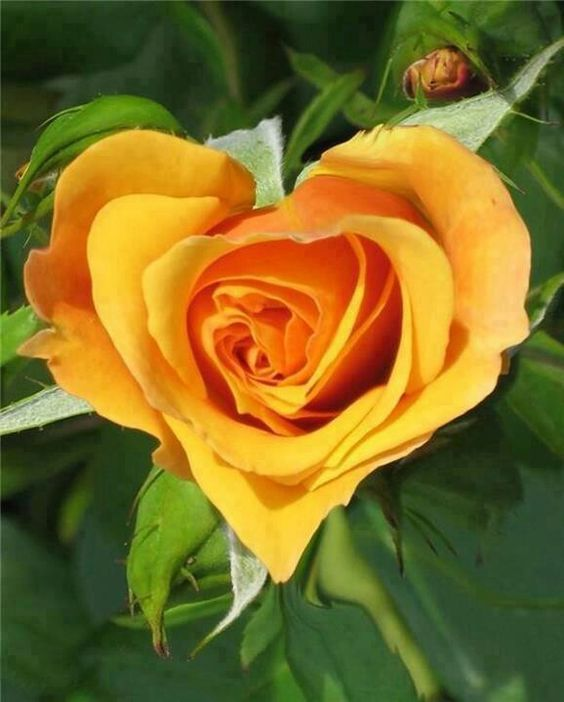 Heart Shaped Yellow Rose of Texas..