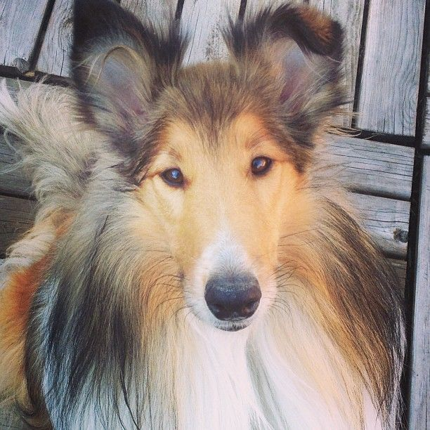 """Collie dogs are listed in """"Breeds that don't stink!"""" I know my sweet Noah Dog naturally smells like baby powder!"""