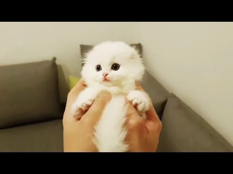 Weißer Munchkin Kitten Ball – YouTube   – Cute