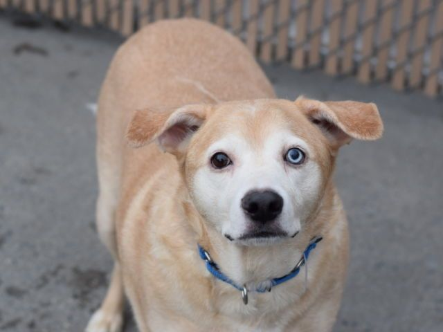 """SUNNY - A1092468 - - Brooklyn  Please Share:TO BE DESTROYED 10/23/16 A volunteer writes: Oh Sunny– someone gave you a little too much kibble! As Sunny and I were walking today, someone stopped us to ask if """"she had just had puppies,"""" to which I had to laugh when I responded """"Actually, he's a boy, and he's just a little overweight!"""" This sweet boy was surrendered through no fault of his own (because his previous owner was having pers"""