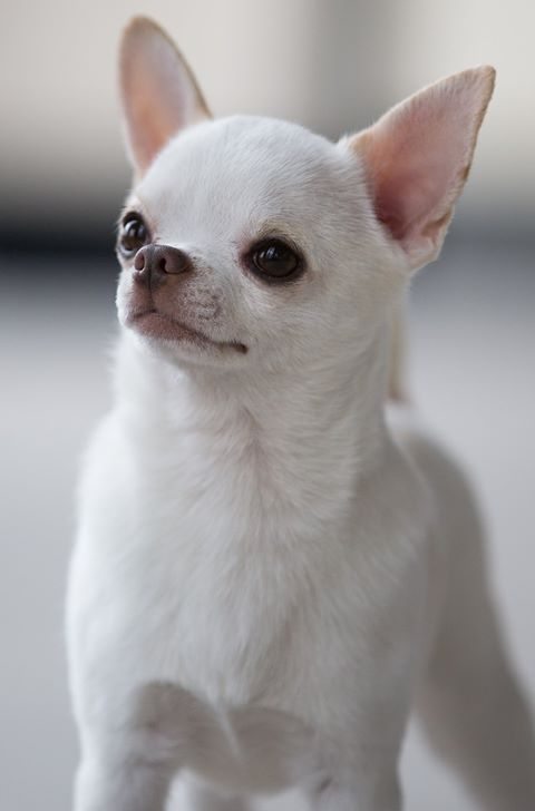 "International and American Champion Sonnus Filho (Sanchez) ""Sonnito"" from Mexico.  The top winning Chihuahua of all time."