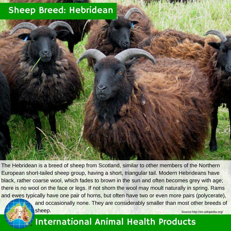 #hebrideansheep #hebridean #sheep #ram #ewe #lamb #sheepbreed #breed #facts #green #iah #iahp #internationalanimalhealth #poultry #animal #facts #breeds #livamol #protexin