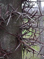 Honey locust - Wikipedia, the free encyclopedia