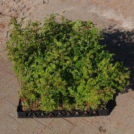"TILBUD ""SOMMERHUS-pakken KLITROSER"" Jiffyplanter til barske lokaliteter. Karton med 42 stk."