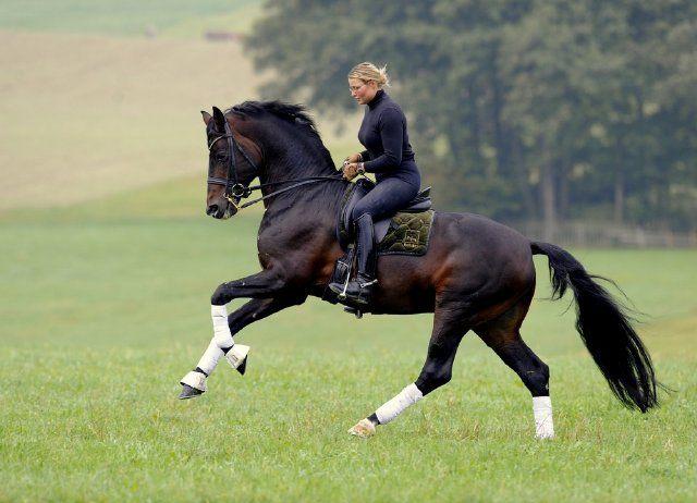 "Phenomenal Austrian Warmblood Stallion ""Bartlgut's Harvard"" Photography by Janne Bugtrup."