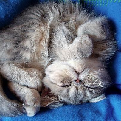 Exotic Shorthair Kitten | Exotic Shorthairs