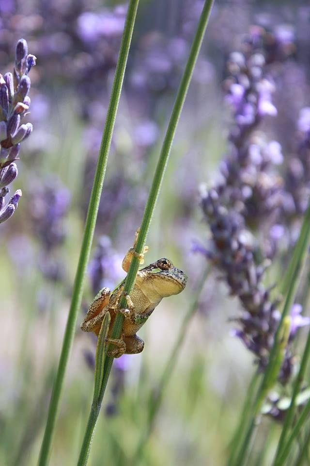 """All it takes is a field of Lavender and a breeze to make me high on life!"" - The Lavender Frog"