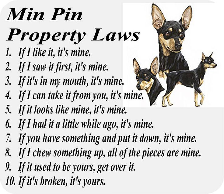 Miniature Pinscher Laws. These are so true. Except for the last one - Trixie still wants it even if it's broken. @Jenn L McCumber