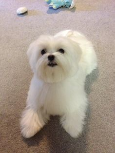 Short Haircut- Need advice (& random pics!) - Maltese Dogs Forum : Spoiled Maltese Forums