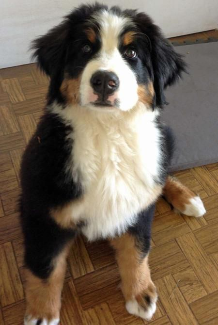 Bernese Mountain Dog Border Collie Mix Puppies 15 best images about B...