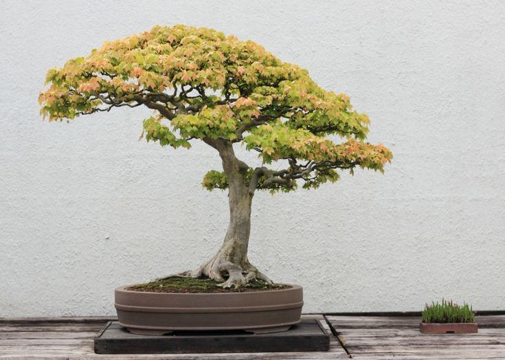 25 best ideas about bonsai baum on pinterest lila b ume. Black Bedroom Furniture Sets. Home Design Ideas