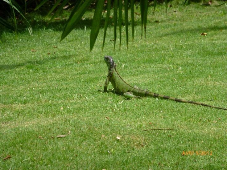 Iguane, Parc Gumbalimba