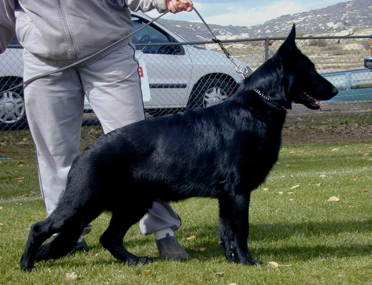 1240 Best Gsds Images On Pinterest German Shepherd Dogs Sheep
